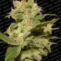 Auto Jack Feminised Cannabis Seeds | Paradise Seeds