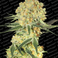 Auto Wappa Feminised Cannabis Seeds | Paradise Seeds