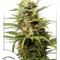 Auto White Widow Auto Feminised Cannabis Seeds | Dutch Passion
