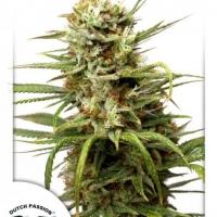 Auto White Widow Feminised Cannabis Seeds | Dutch Passion