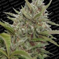 Auto White Berry Feminised Cannabis Seeds | Paradise Seeds