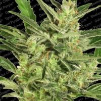 Automaria II Feminised Cannabis Seeds | Paradise Seeds