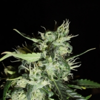 Automatic Widow Feminised Cannabis Seeds | GreenLabel Seeds