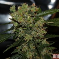 Automatic Mega Bud Feminised Cannabis Seeds | GreenLabel Seeds