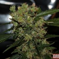Automatic Mega Bud Feminised Cannabis Seeds | GreenLabel Seeds