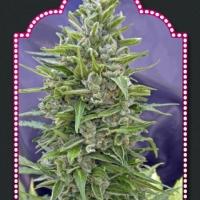 Auto Mix Feminised Cannabis Seeds| OO Seeds