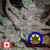 Avalon Regular Cannabis Seeds | Next Generation Seeds