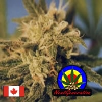 BC Big Bang Regular Cannabis Seeds | Next Generation Seeds