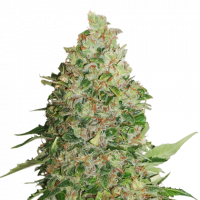BCN Critical XXL Feminised Cannabis Seeds | Seed StockersBCN Critical XXL Auto Feminised Cannabis Seeds | Seed Stockers