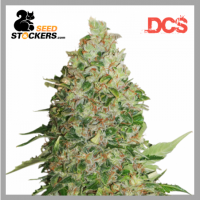 BCN Critical XXL Feminised Cannabis Seeds | Seed Stockers