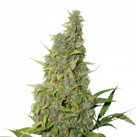 BCN Power Plant Auto Feminised Cannabis Seeds   Seed Stockers