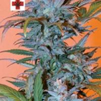 BC Golden Skunk Feminised Cannabis Seeds | Next Generation Seeds