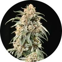 Big Auto Tao Regular Cannabis Seeds
