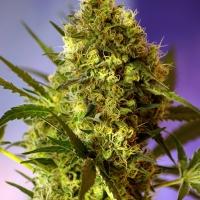 Big Devil Auto Feminised Cannabis Seeds | Sweet Seeds
