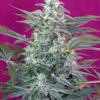 Big Foot Feminised Cannabis Seeds | Sweet Seeds
