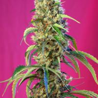 Black Jack CBD Feminised Cannabis Seeds | Sweet Seeds