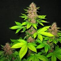 Sick Meds Bizarre Regular Cannabis Seeds