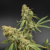 Banana Jack Regular Cannabis Seeds | TGA Seeds