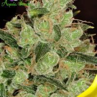 Banana Kush Feminised Cannabis Seeds - Anesia Seeds