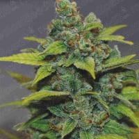 Banana Zkittlez Feminised Cannabis Seeds | Medical Seeds