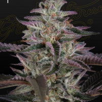 Banana Krumble Feminised Cannabis Seeds | Green House Seeds