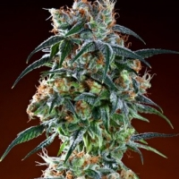 Bay 11 Regular Cannabis Seeds | Grand Daddy Purp
