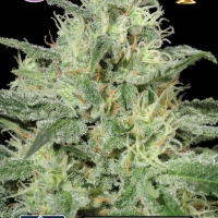 Critical Feminised Cannabis Seeds | Kera Seeds