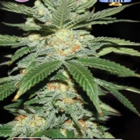 Jack Herer Feminised Cannabis Seeds | Kera Seeds
