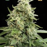 Amnesia Auto Feminsed Cannabis Seeds   Kera Seeds