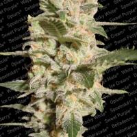 Belladonna Feminised Cannabis Seeds | Paradise Seeds
