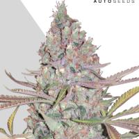 Berry Ryder Autoflowering Feminised Cannabis Seeds   Auto Seeds