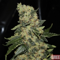 Berry Delight Feminised Cannabis Seeds | GreenLabel Seeds