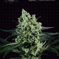 Best Mango Feminised Cannabis Seeds