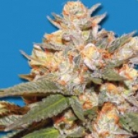 Bomb Seeds Big Bomb Auto Feminised Cannabis Seeds For Sale