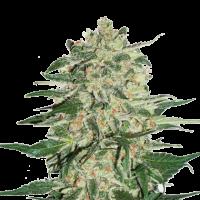 Big Bud Feminised Cannabis Seeds | Seed Stockers