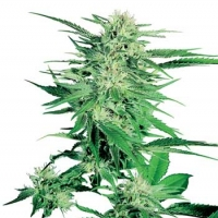 Big Bud Regular Cannabis Seeds | Sensi Seeds
