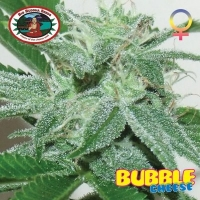 Bubble Cheese Feminised Cannabis Seeds | Big Buddha Seeds