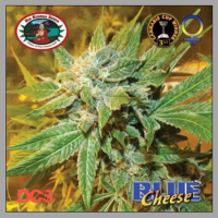 Blue Cheese Feminised Cannabis Seeds | Big Buddha Seeds