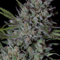 Crystal Runtz Feminised Cannabis Seeds | Big Head Seeds