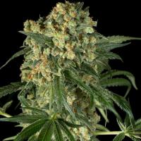 Big Kush Feminised Cannabis Seeds - Dinafem Seeds