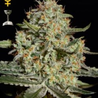 Buy Green House Seeds Big Bang Feminised Cannabis Seeds