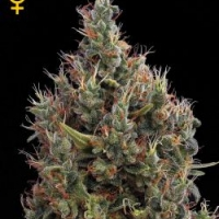Buy Green House Seeds Big Bang Automatic Feminised Cannabis Seeds