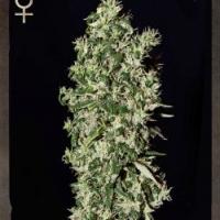 Big Tooth Feminised Cannabis Seeds | Strain Hunters