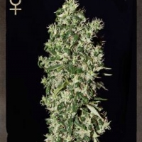 Big Tooth Feminised Cannabis Seeds | Strain Hunters