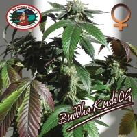 Big Buddha Seeds Buddha Kush OG Feminised Cannabis Seeds For Sale