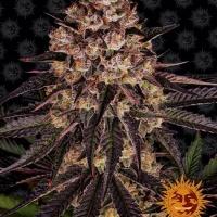 Biscotti Mintz Feminised Cannabis Seeds   Barney's Farm