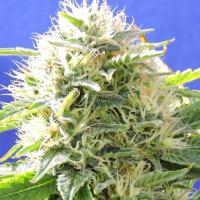 Black Destroyer Feminised Cannabis Seeds   Original Sensible Seeds