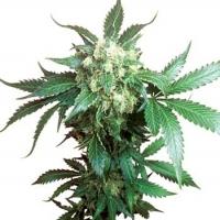 Black Domina Regular Cannabis Seeds | Sensi Seeds