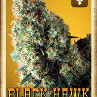Black Hawk Auto Feminised Cannabis Seeds | Rockwell Seeds