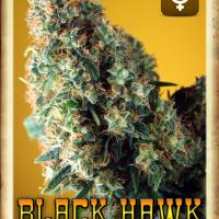 Black Hawk Auto Feminised Cannabis Seeds | Rockwell Seeds